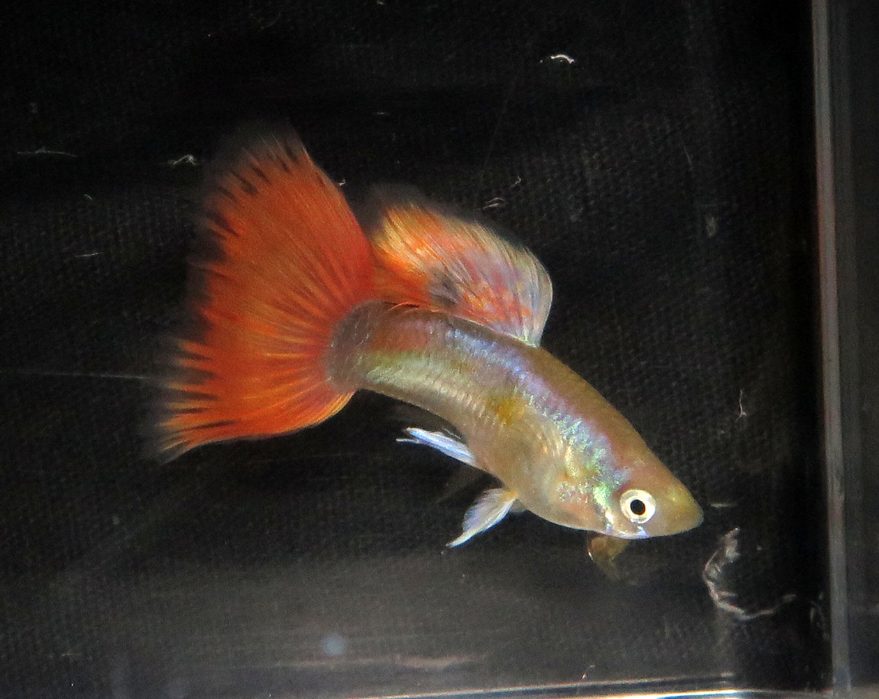red gold metal guppy