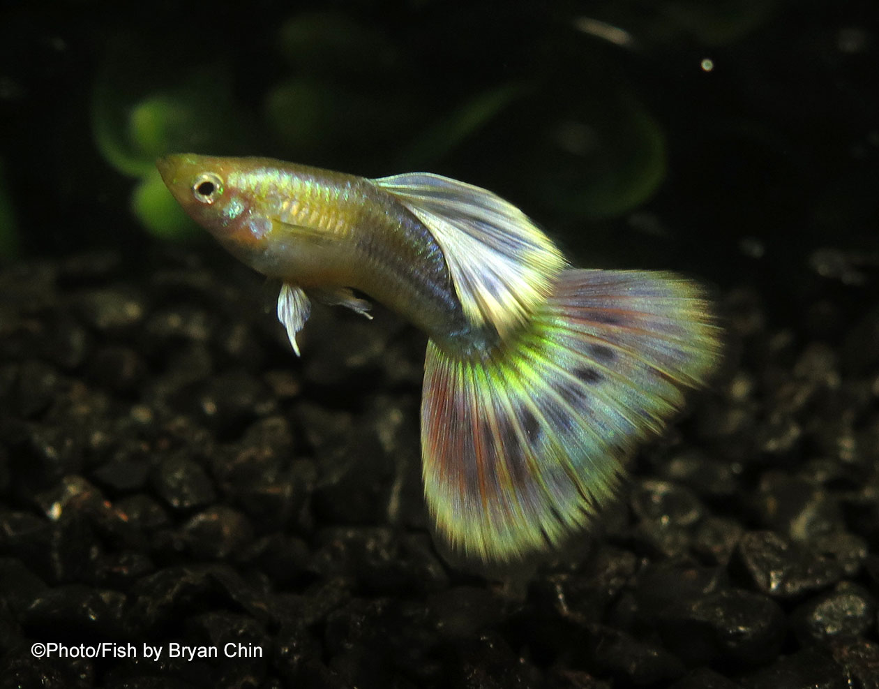 Gold body Mg mutation guppy