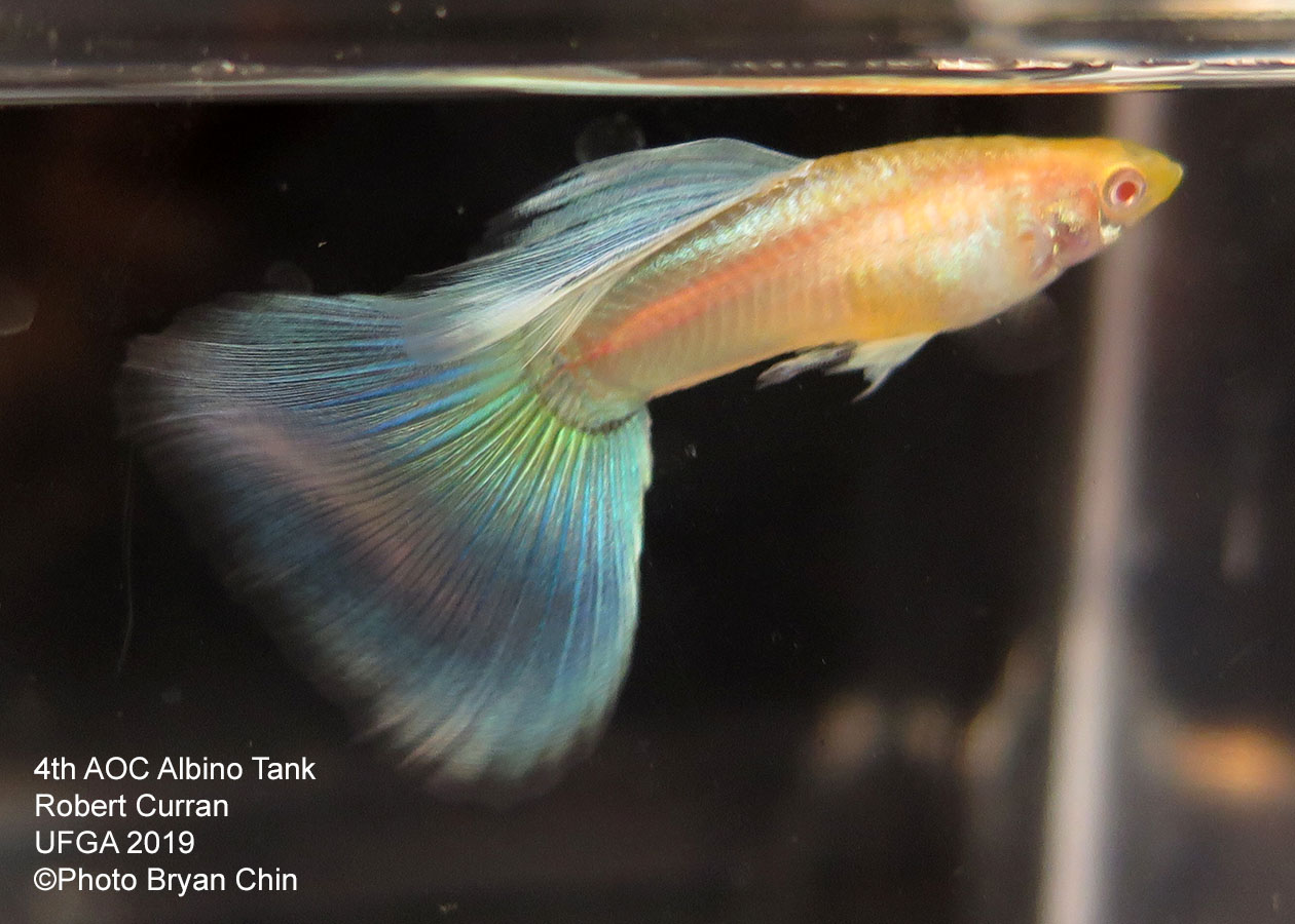 albino blue guppy