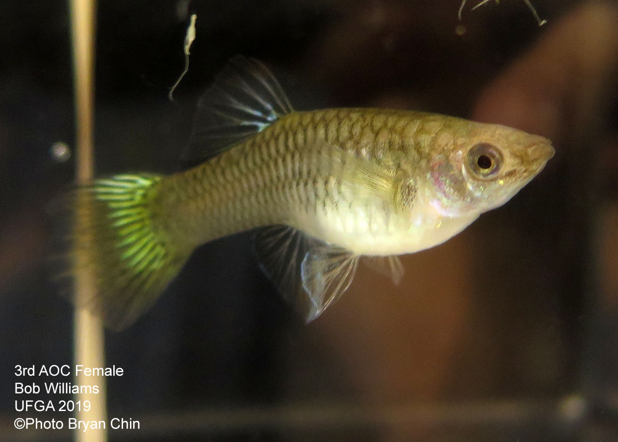 female guppy bicolor aoc