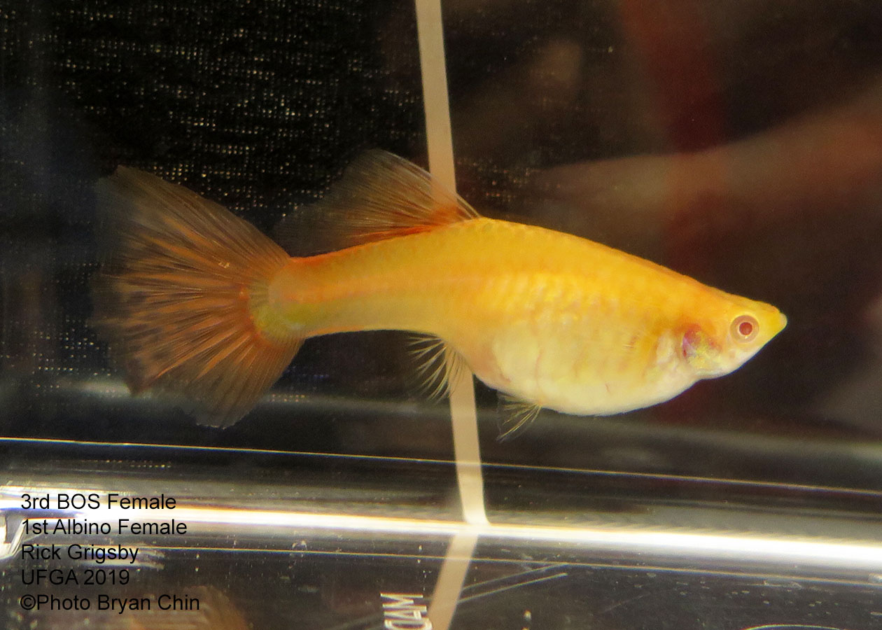 albino red female guppy