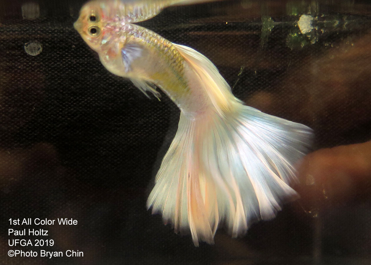 White Wide guppy