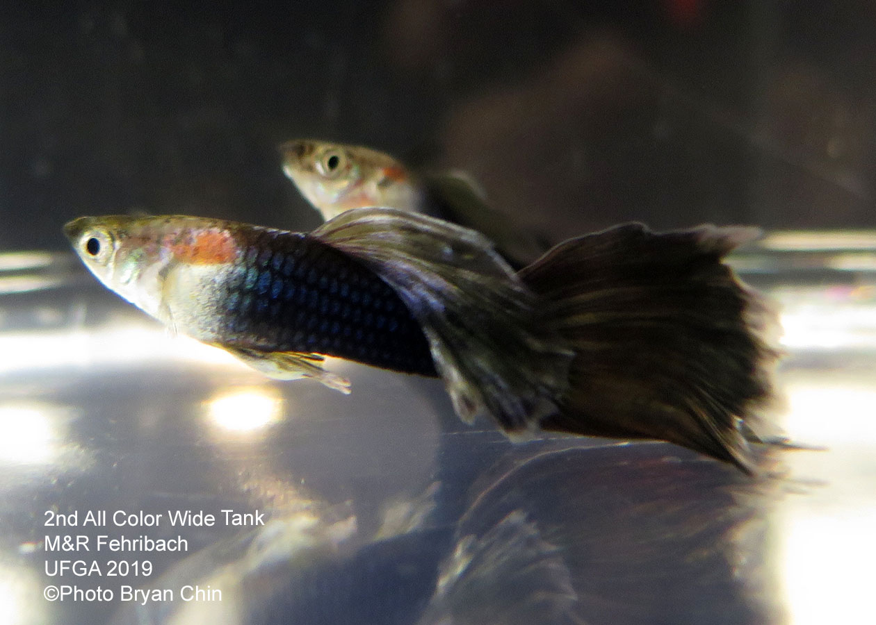 half black  hb guppy wide