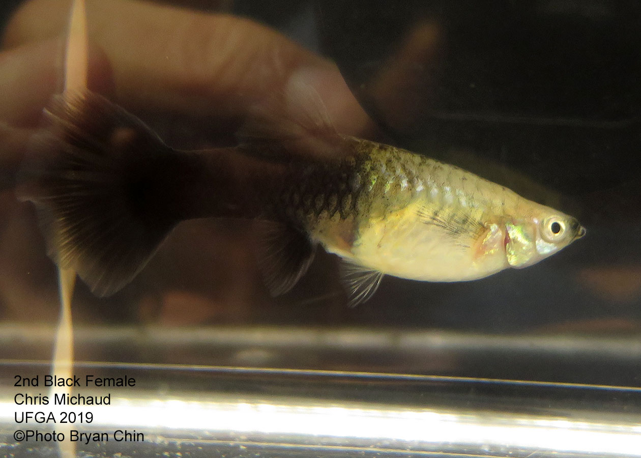 black female guppy