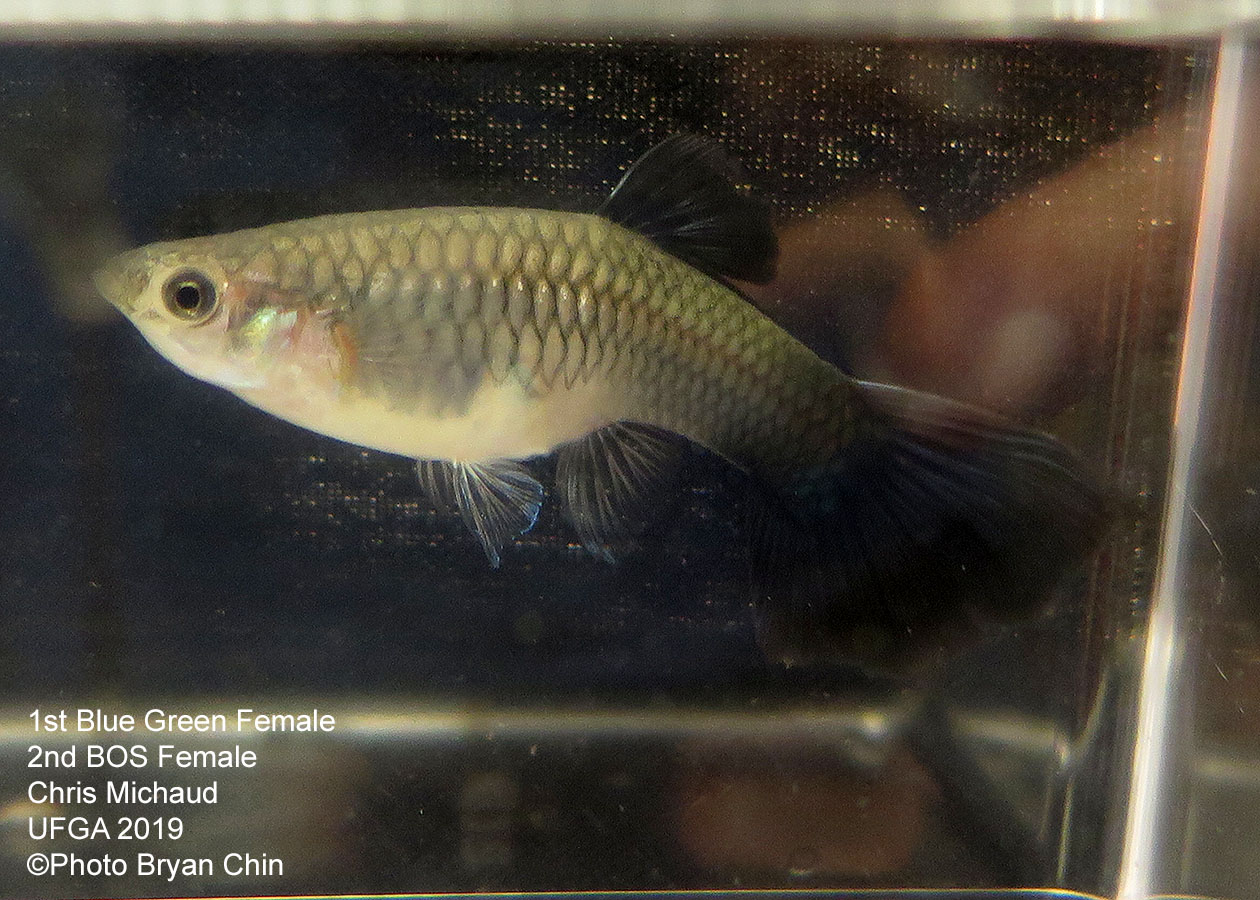blue green female guppy