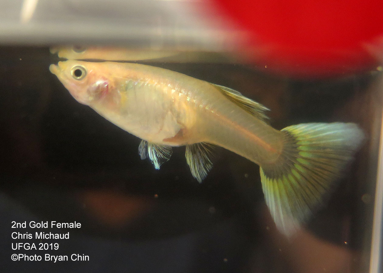 gold female guppy