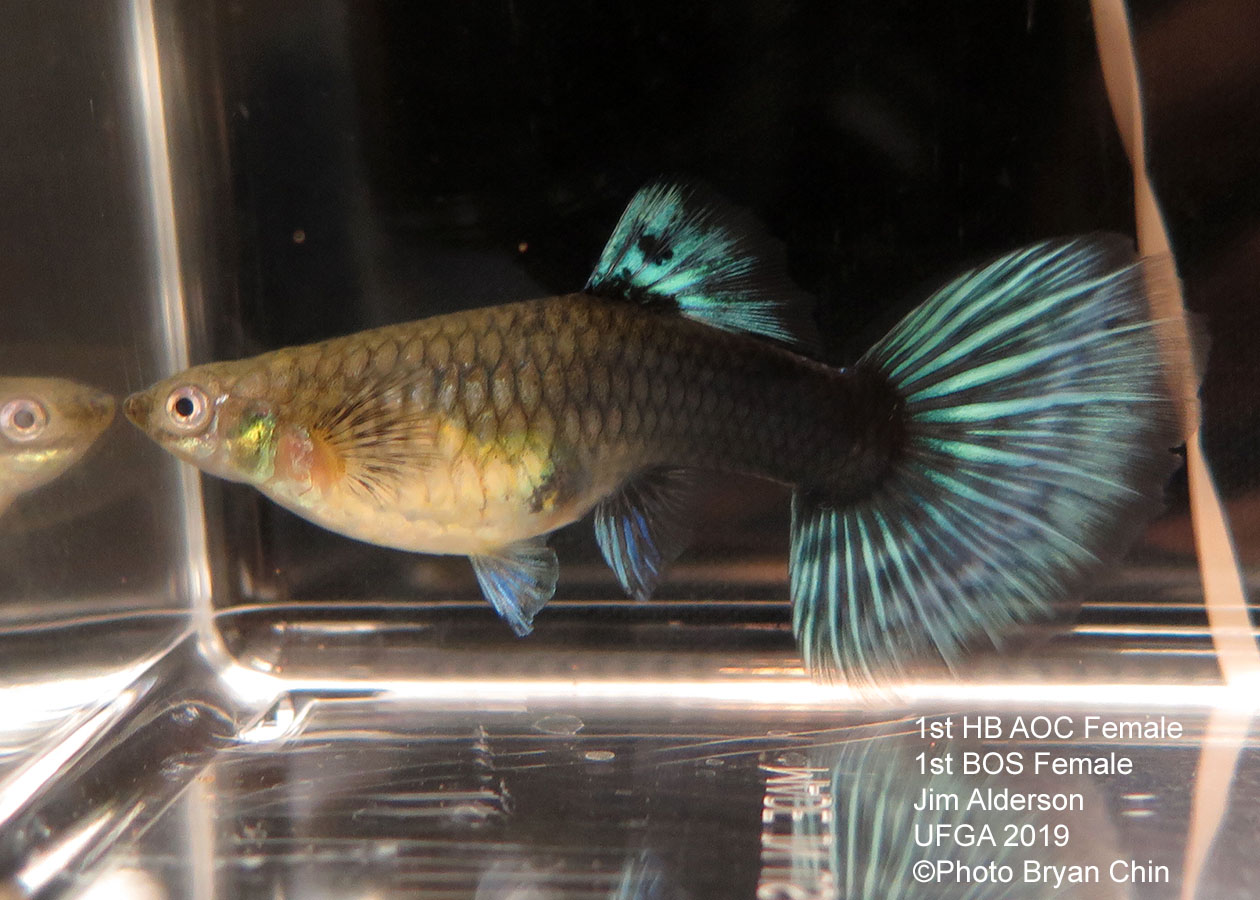 half black hb green female guppy