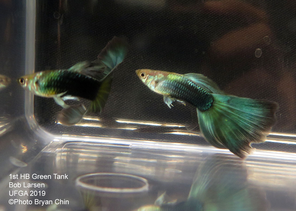 half black green guppy hb