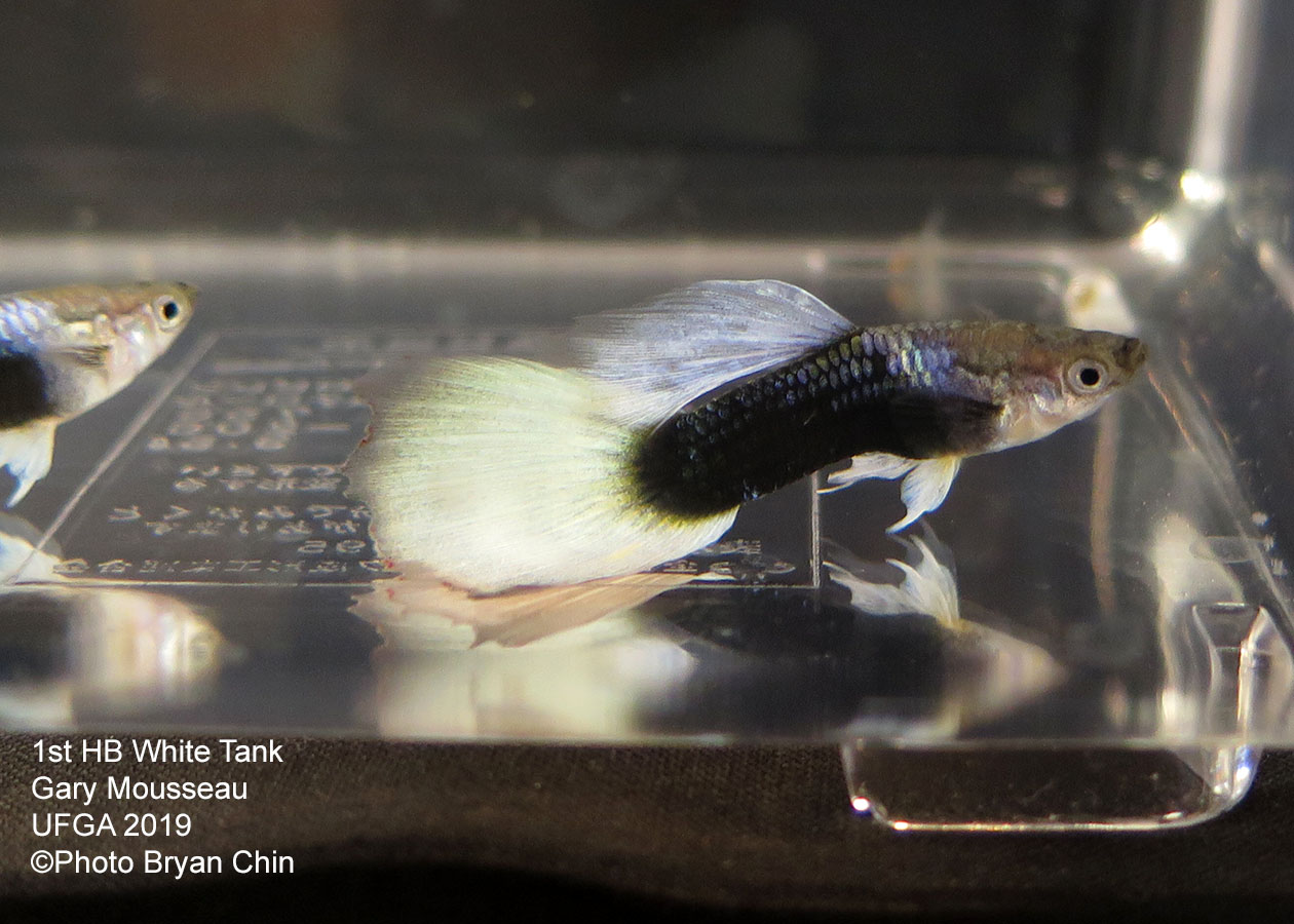 Half black white pastel guppy hb