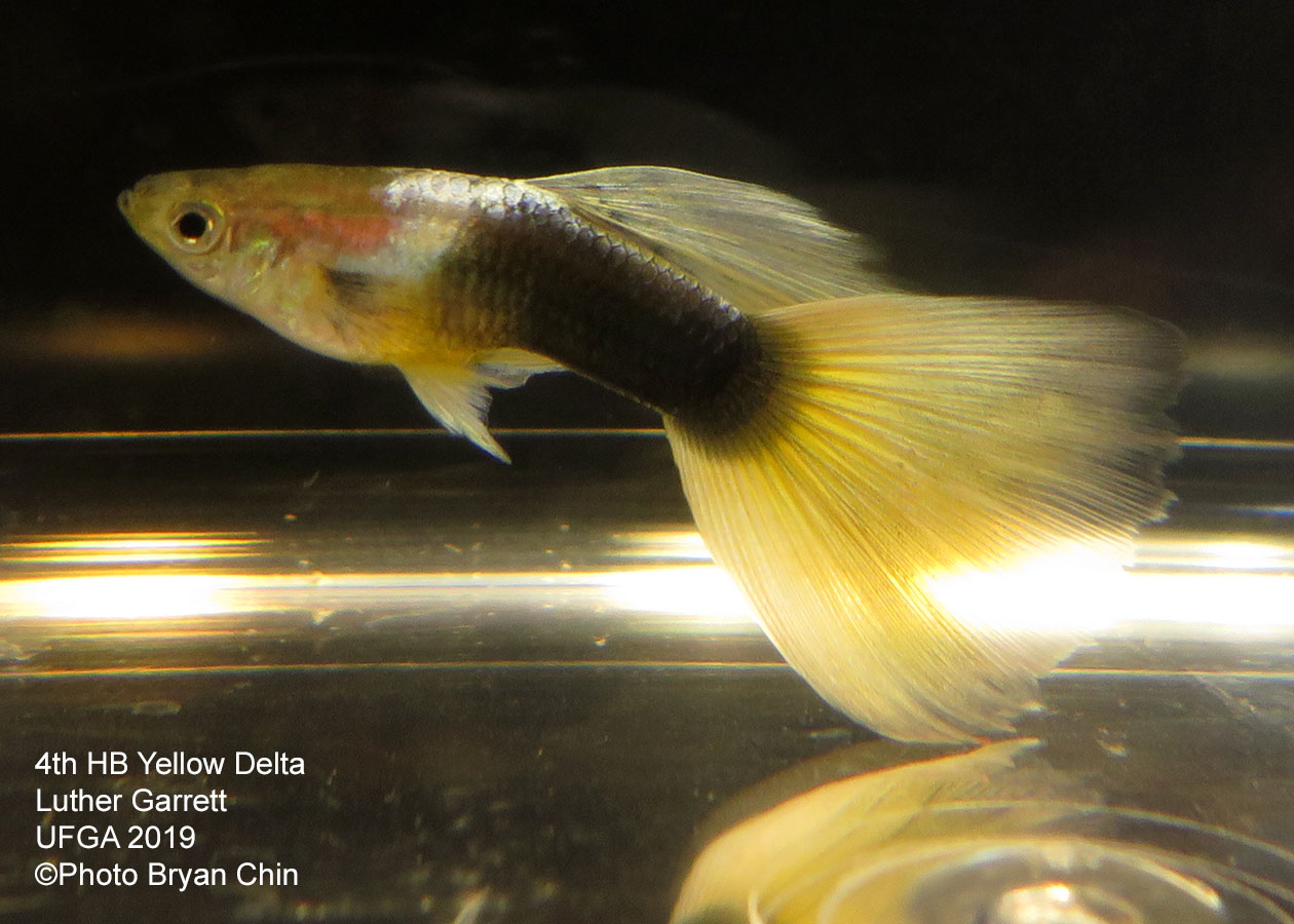 half black yellow guppy hb