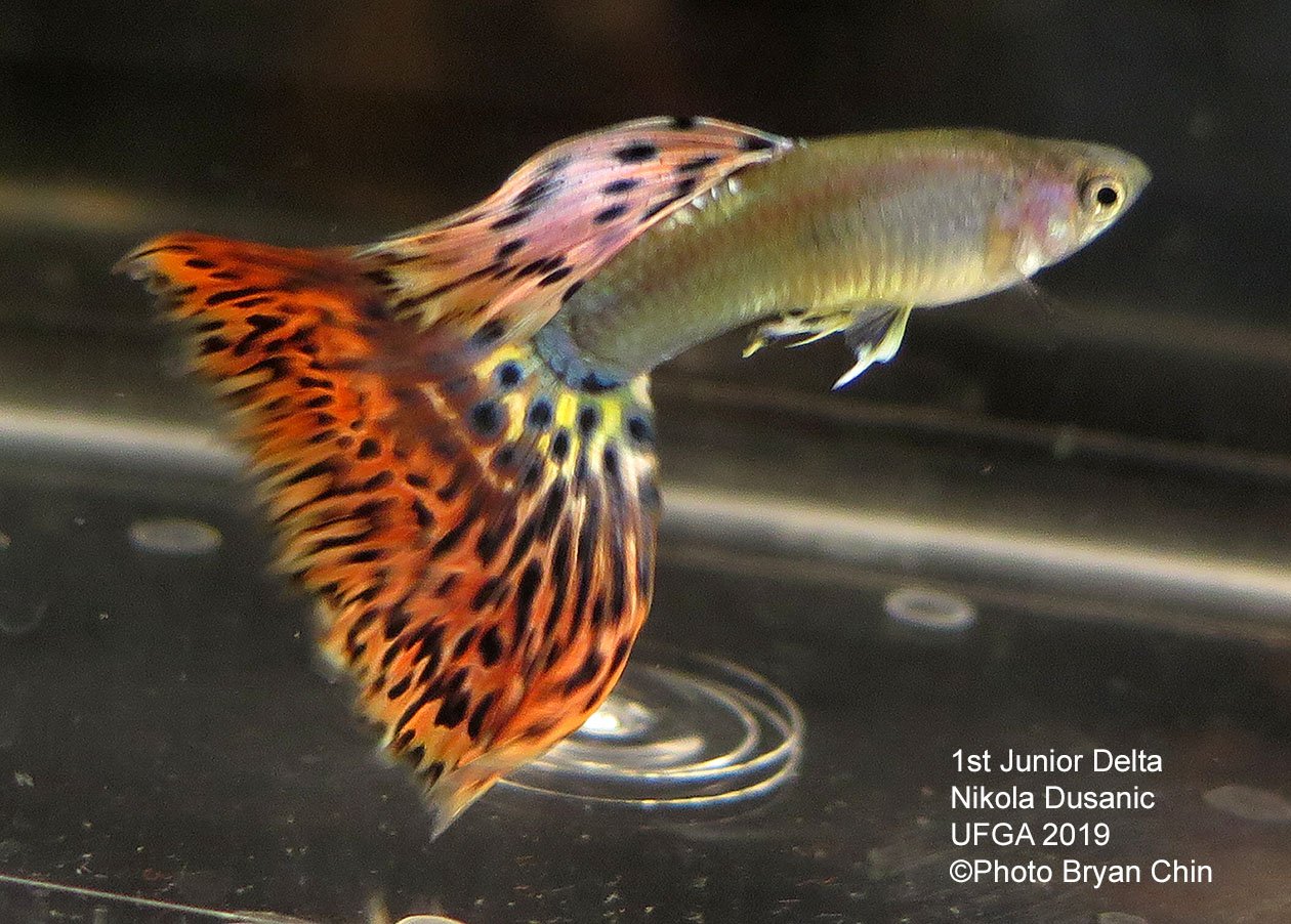 Variegated red guppy