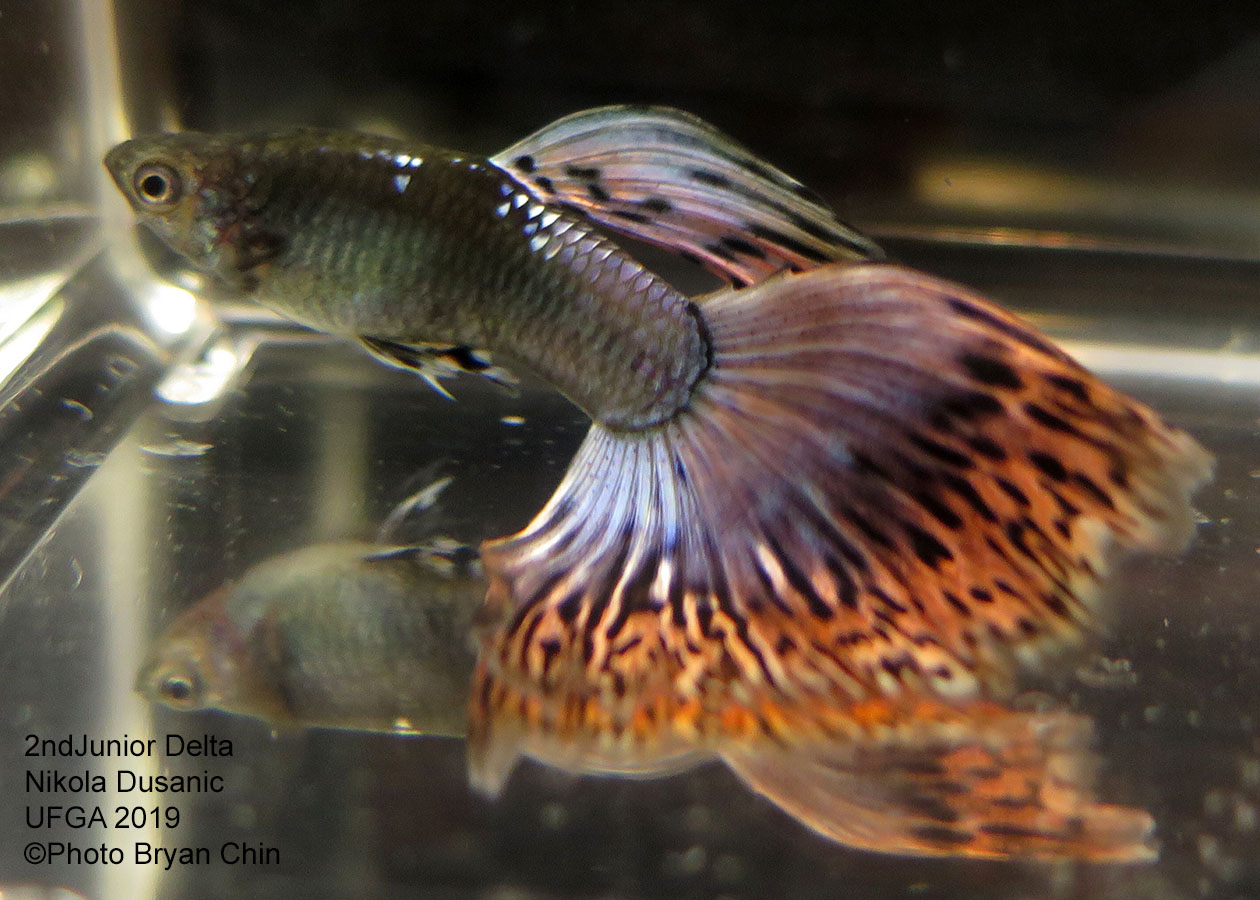 variegated guppy purple