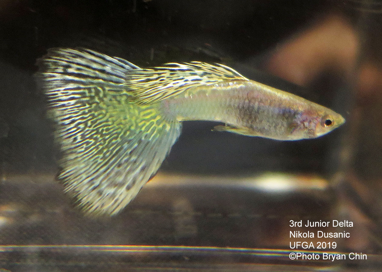 variegated guppy yellow