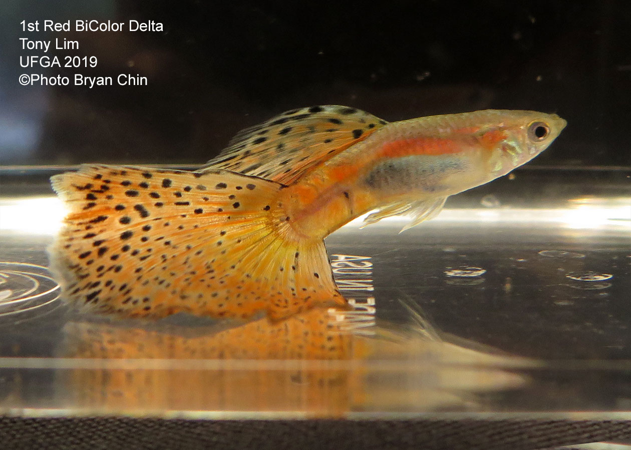 Red bicolor guppy variegated